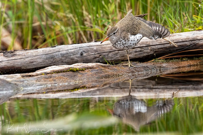 Spotted Sandpiper Antics
