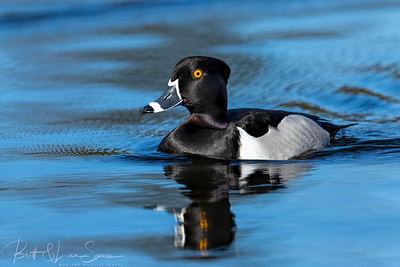 Male Ring-necked Duck Portrait