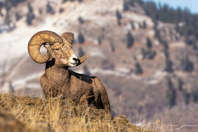 Bighorn Ram Rests on a Ledge