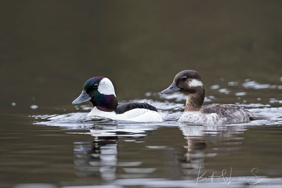 Mr. and Mrs. Bufflehead Portrait