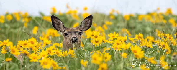 Mule Deer Doe in Arrowleaf Balsamroot
