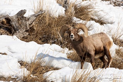 Full Curl Ram Feeds in Yellowstone