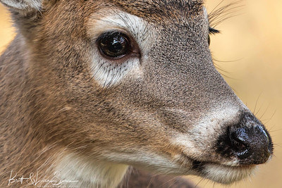 """Reflection""-young white-tailed doe"