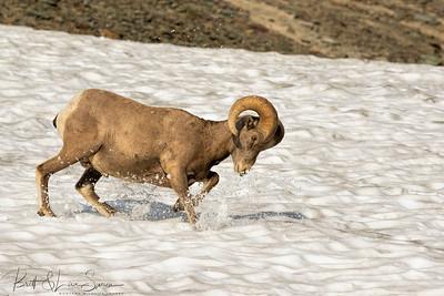 Bighorn Ram Plays on Snowfield