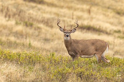 Whitetail Buck Poses