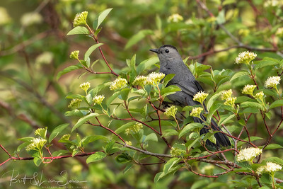Gray Catbird and Flowers