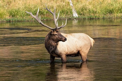 Bull Elk in the Madison River