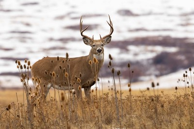 White-tailed Buck and Teasel