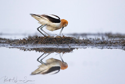 Foggy Morning Egg Adjustment-American Avocet