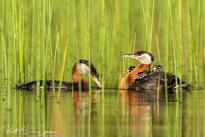 Red-necked Grebe Adults with 3 Babies