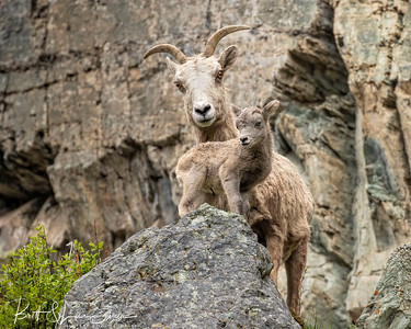 Mama is Never Far Away-Bighorn Ewe and Lamb
