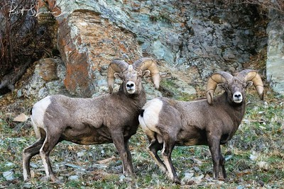 """Ram Buddies""-bighorn sheep"