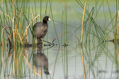 American Coot  Above Water