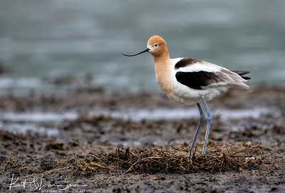 American Avocet Stands Over Nest with Eggs