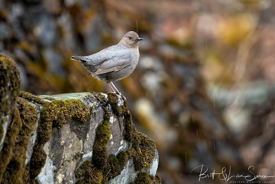 Bursting With Color-American Dipper