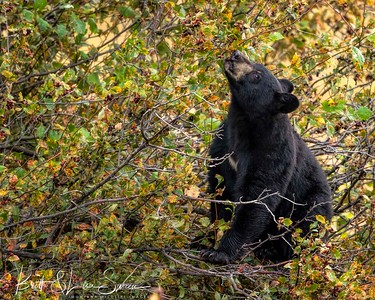 Black Bear Feeds on Hawthorn Berries #2