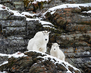 Snow and Ice-Mountain Goat Nanny and Kid