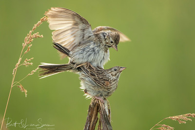 Vesper Sparrows Mating