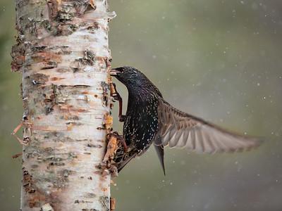 Starling on a Birch Tree
