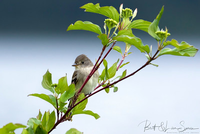 Willow Flycatcher on Green