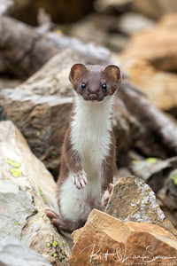 Standing Short-tailed Weasel