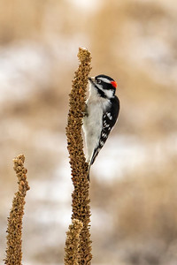 Male Downy Woodpecker on Mullein