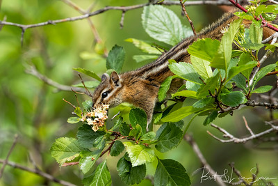 Chipmunk Stretches for a Hawthorn Blossom