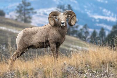 Ridge Pose-Bighorn Ram