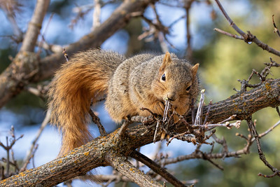 Squirrel Enjoys an Icicle