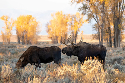 Bull and Cow Moose During Fall Rut
