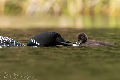Baby Loon Gets a Fish