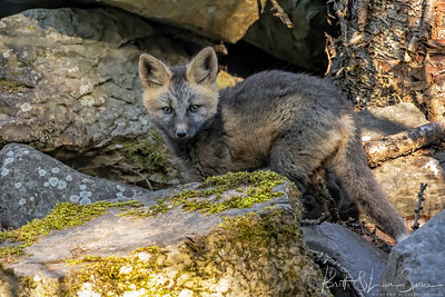 Red Fox Kit in the Rocks