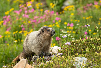 Hoary Marmot and Wildflowers