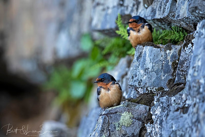 Barn Swallows on Rock Ledge