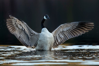 Canada Goose on Display