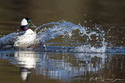 Male Bufflehead Landing