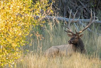 Bull Elk at Rest in Fall