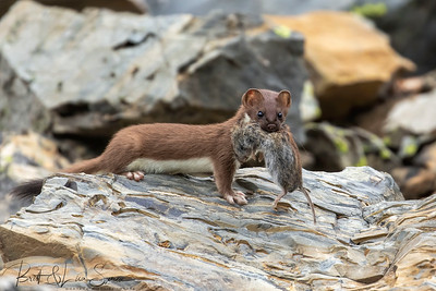Short-tailed Weasel With Prey #3