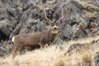 Mule Deer Buck in Golden Grass