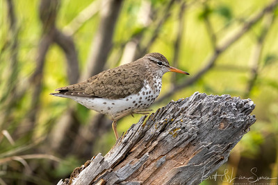Spotted Sandpiper in Mid-step