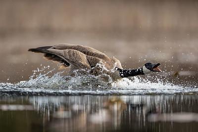 Canada Goose-Landing with Attitude