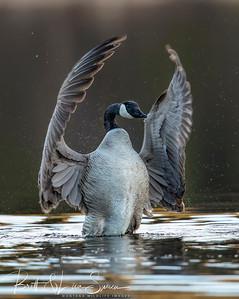 """""""The Maestro""""-Canada Goose"""