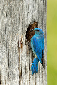 Bluebird at Nest with Food