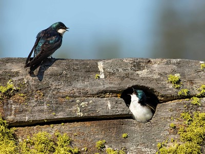 Tree Swallows Talk About the House