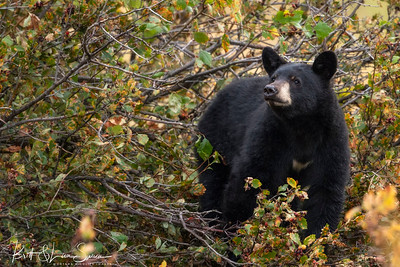 Black Bear Feeds on Hawthorn Berries