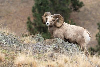 Full Curl Friday Bighorn Ram