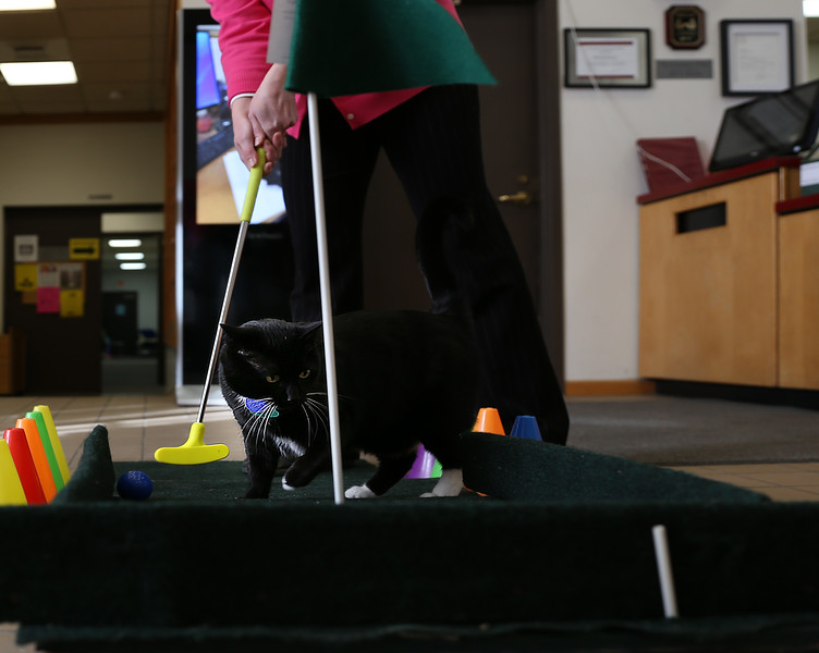 """HOLLY PELCZYNSKI - BENNINGTON BANNER """"Pete the Cat"""" explores the green on a mini golf  hole on Monday afternoon. The Green is a practice hole for the upcoming Library Mini Golf taking place Feb. 28 & 29 open to all to take place in the 18 hole mini golf course while exploring the library and taking place in some indoor fun."""