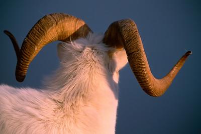 A Dall's sheep Ram with a big rack on Kluane Mountain, in Kluane National Park, Yukon, Canada.