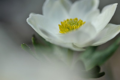 White flower, Alpine Anemone (Anemone drummondii wats) Nahanni National Park is a Unesco World Heritage site. The Nahanni River is also a Canadian Heritage River and one of the world's most popular paddling/canoeing destinations. Northwest Territories (NWT) Canada.