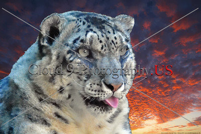 Snow Leopard 00043  Portrait of a rare snow leopard with an awesome sunset sky background, wild animal picture by Peter J  Mancus     DONEwt